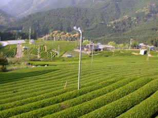 川添茶シリーズ